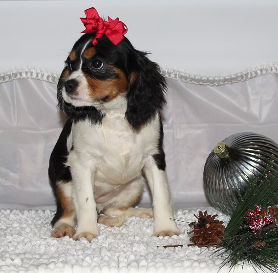 Chloe - A Female AKC Cavalier King Charles Spaniel Puppy in Spencerville, Indiana