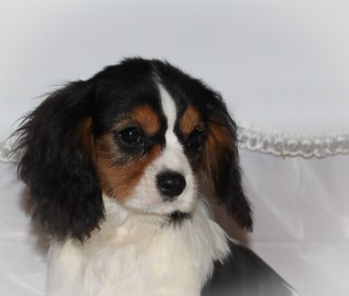 Cabot - A Male AKC Cavalier King Charles Spaniel Puppy for sale in Spencerville, IN