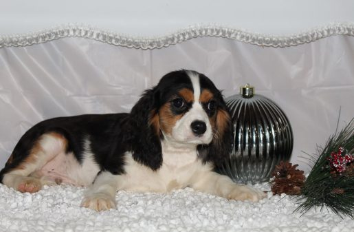 Cody - A Male AKC Cavalier King Charles Puppy for Sale in Indiana