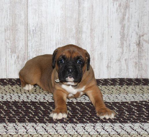 Trooper - A bright new Boxer puppy for sale in Grabill, Indiana