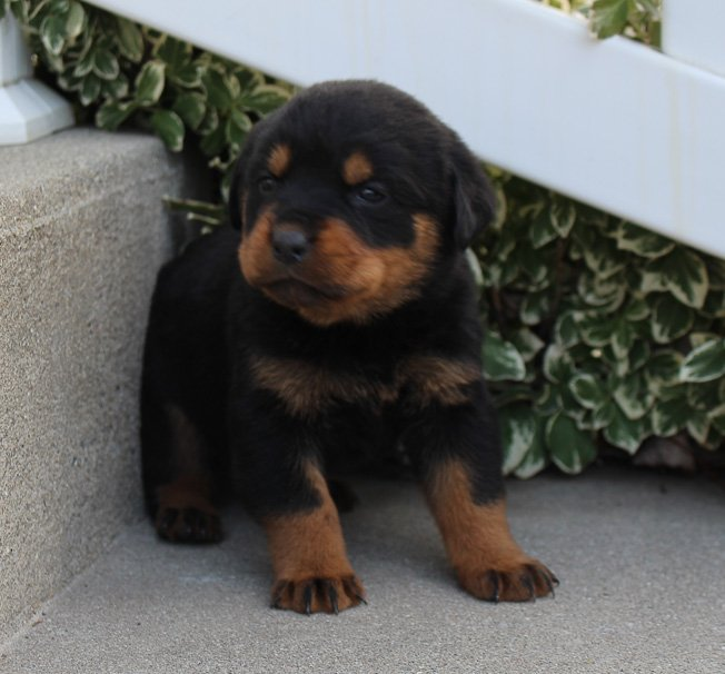 Lacy A Female Akc Rottweiler Puppy In Grabill In Rottweilers