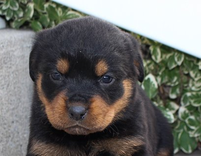 Lacy - A female AKC Rottweiler puppy in Grabill, IN