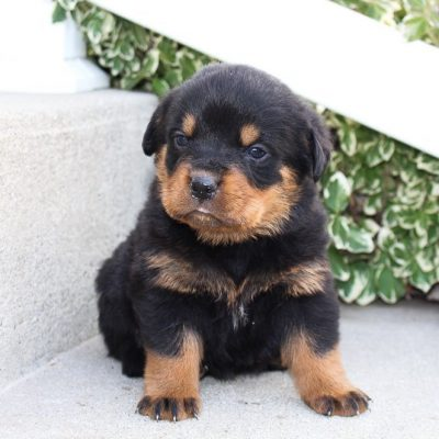 Lamont - A male AKC Rottweiler puppy for sale in Indiana