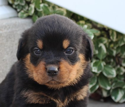 Lamont A Male Akc Rottweiler Puppy For Sale In Indiana