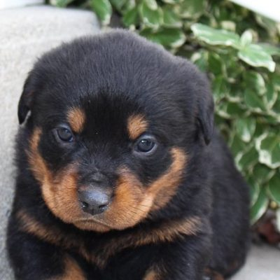 Lance - A bright male AKC Rottweiler pupper for sale in Fort Wayne, Indiana