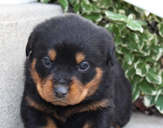 Lance A Bright Male Akc Rottweiler Pupper For Sale In Fort Wayne