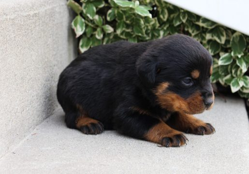 Landle - A new male AKC Rottweiler puppy born in Grabill, Indiana