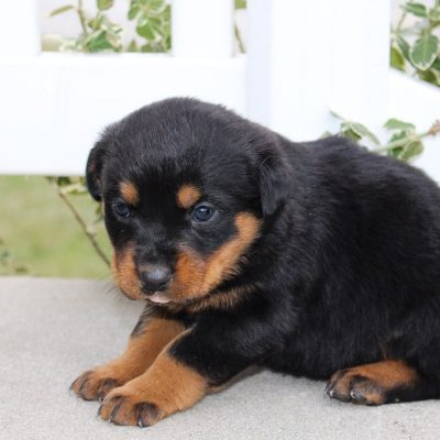 Lola - A new female AKC Rottweiler pupper born in Grabill, Indiana