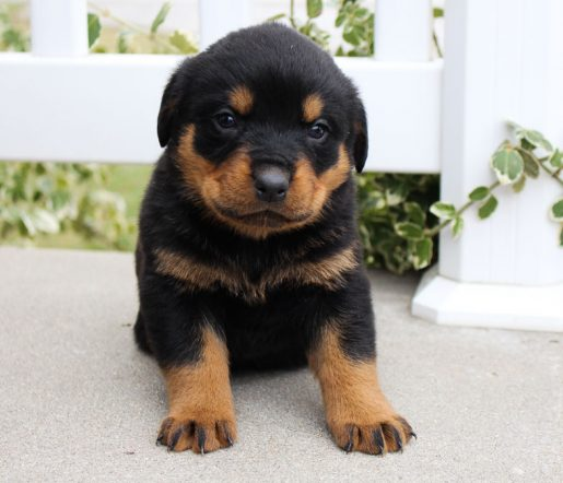 Liam- A male AKC Rottweiler puppy for sale from Grabill, IN