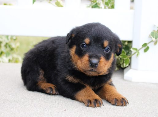 Lucky - A lovable male AKC Rottweiler puppy for sale in Indiana