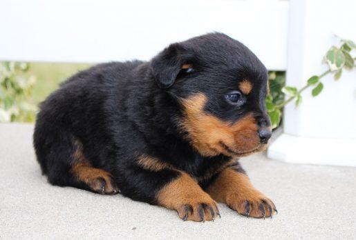 Lola - A new female AKC Rottweiler pupper born in Grabill, Indiana