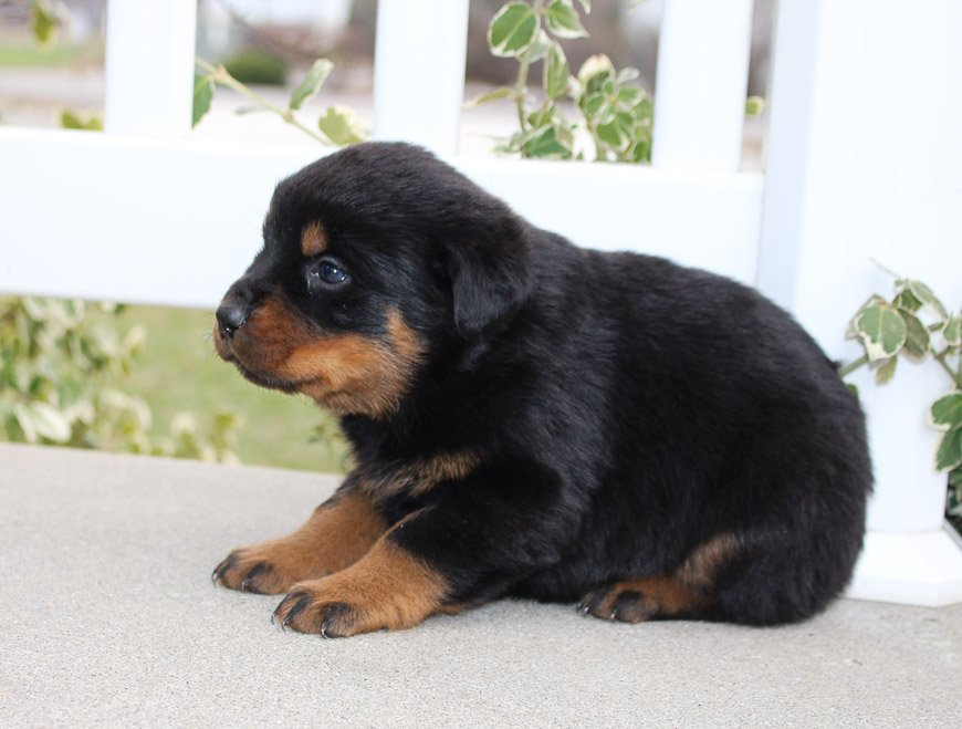 Laney - A female AKC Rottweiler puppy for sale in Grabill, IN