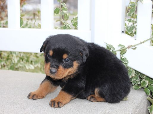 Lexi - A dashing female AKC Rottweiler pupper in Indiana