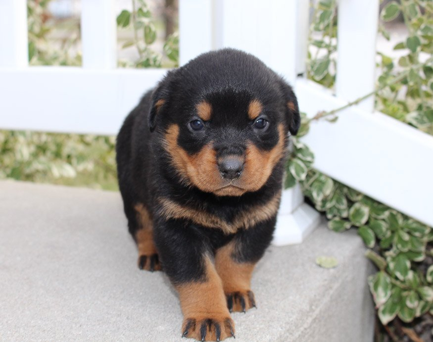 Lexi A Dashing Female Akc Rottweiler Pupper In Indiana