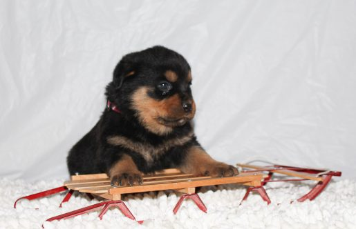 Cheyenne - A Female AKC Rottweiler Puppy for Sale in Indiana