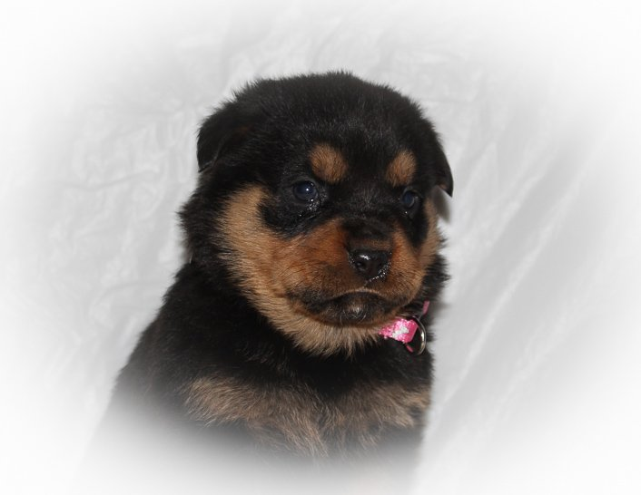 Cheyenne A Female Akc Rottweiler Puppy For Sale In Indiana Vip