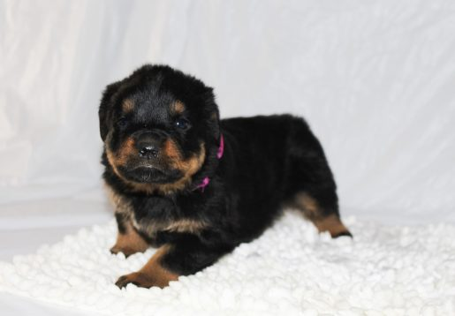 Chloe - A Female AKC Rottweiler Puppy for Sale in Grabill Indiana