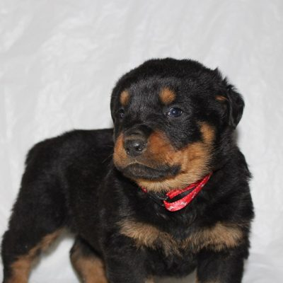 Cabot - A Male AKC Rottweiler Puppy for Sale in Indiana