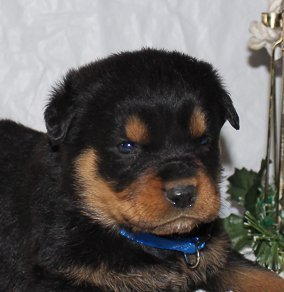 Cody - A Playful AKC Male Rottweiler Puppy for Sale in Indiana