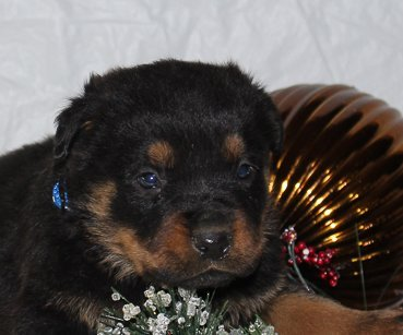 Cooper - A Male AKC Rottweiler Puppy for sale from Indiana