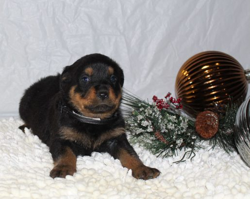 Casey - A Male AKC Rottweiler Puppy for Sale in Grabill, Indiana