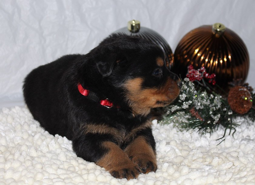 Corbin A Male Akc Rottweiler Puppy For Sale In Indiana Vip Puppies