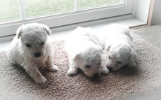 Dasher - A male AKC Bichon Frise puppy for sale in Edon, Oh
