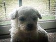 Vixen - A male AKC Bichon Frise puppy for sale in Edon, Ohio