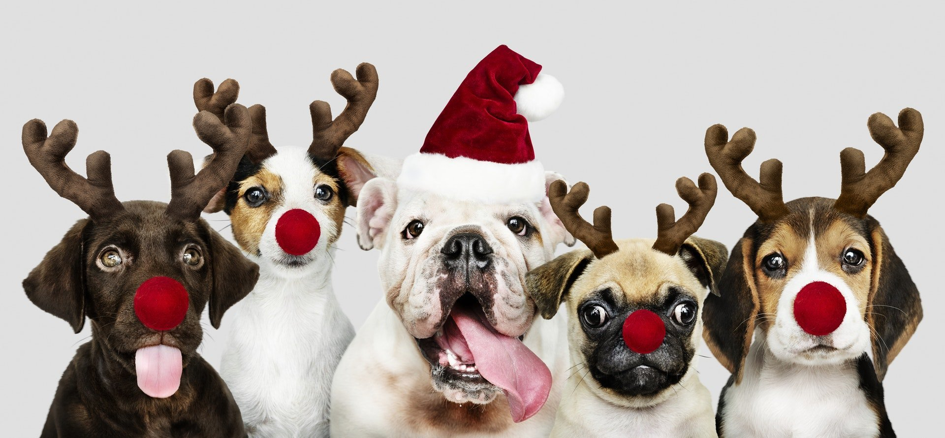 Cute puppies ready for Christmas!