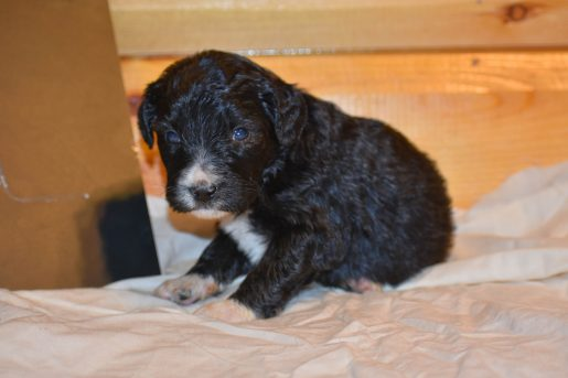 Ariel - a calm female Bernedoodle puppy for sale in Flora, IL