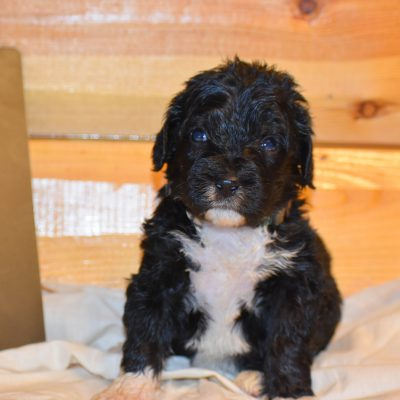 Bolt - a faithful male Bernedoodle puppy from Flora, Illinois