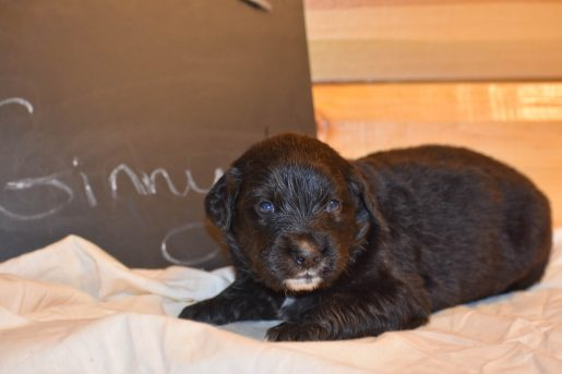 Ginny - a female Golden Mountain Dog puppy for sale in Illinois