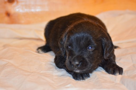 Hermoine - a female Golden Mountain Dog puppy for sale in Illinois