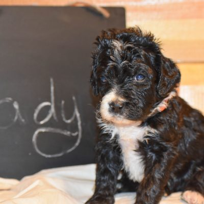 Lady - a female bernedoodle puppy for sale born in Flora, Illinois