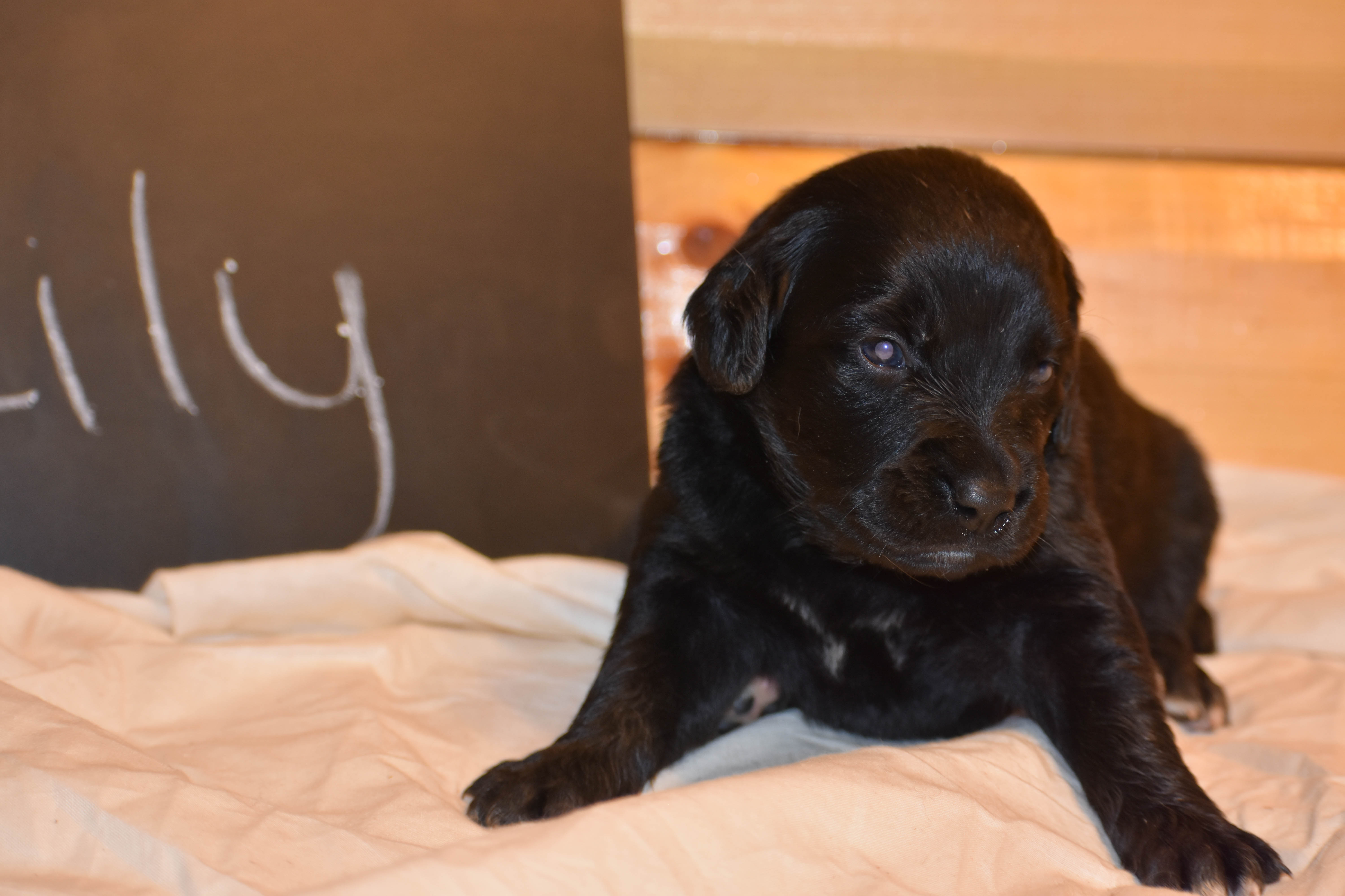 lily - a female Golden Mountain Dog puppy for sale in Flora, IL