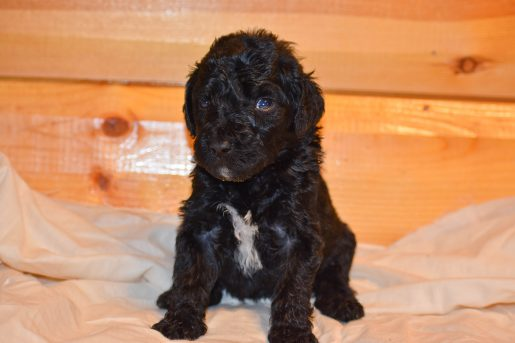 Mickey - a new male Bernedoodle puppy for sale in Flora, Illinois