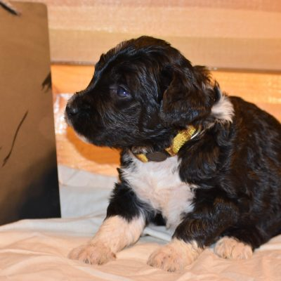 Minnie - a confident female Bernedoodle puppy for sale in Flora, Illinois