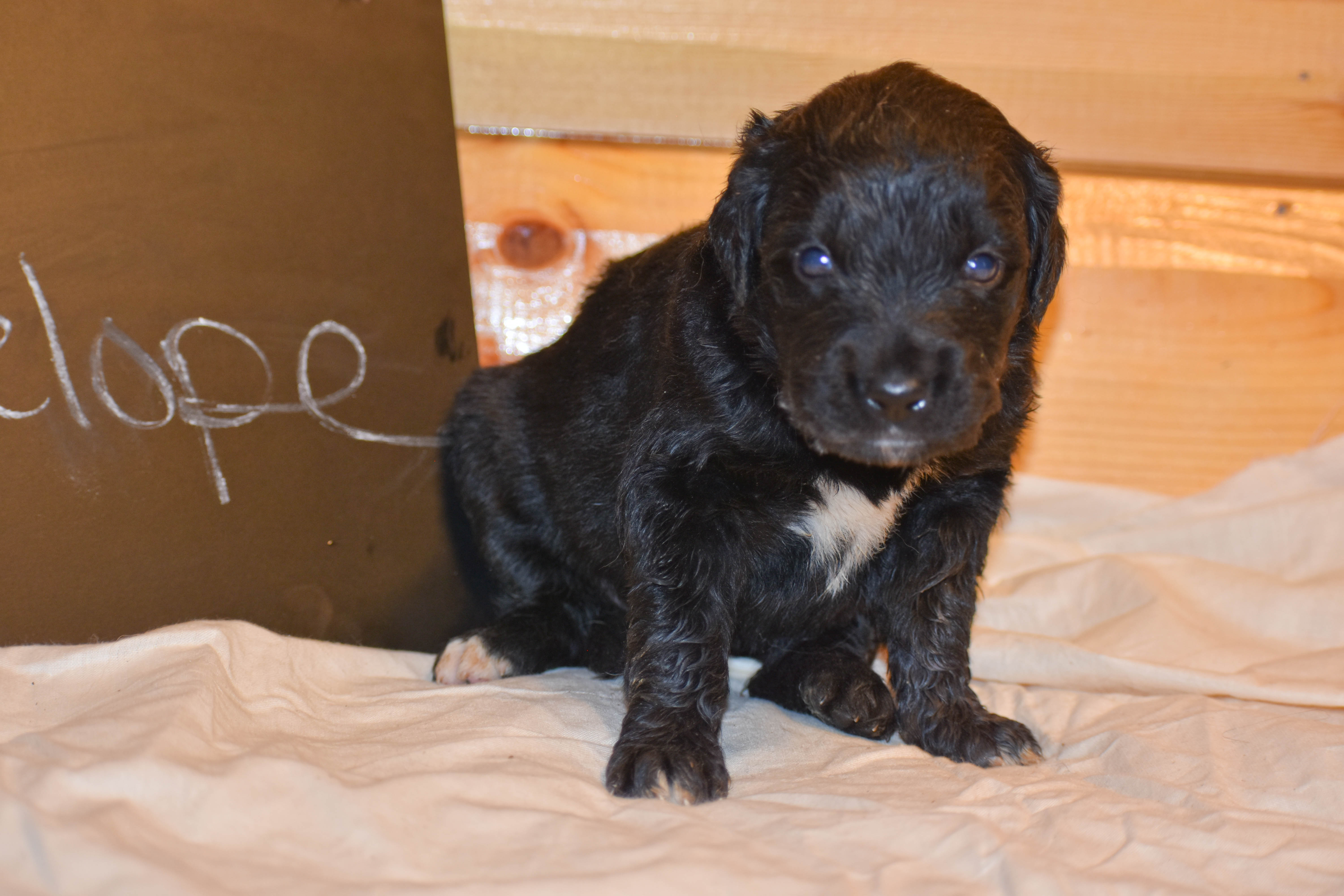 Penelope - a devoted female Golden Mountain Dog puppy for sale in Illinois