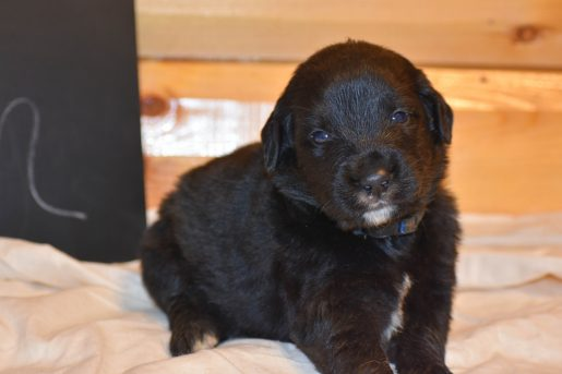 Ron - a dashing male Golden Mountain Dog Puppy for sale in Flora, Illinois