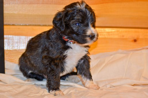 Simba - a friendly male Bernedoodle pupper for sale in Illinois