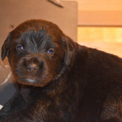 Hagrid - a male Golden Mountain Dog Puppy for Sale in Flora, Illinois