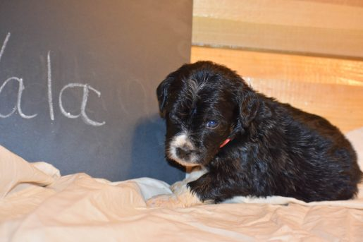 Nala - a charming female Bernedoodle puppy for sale in Illinois