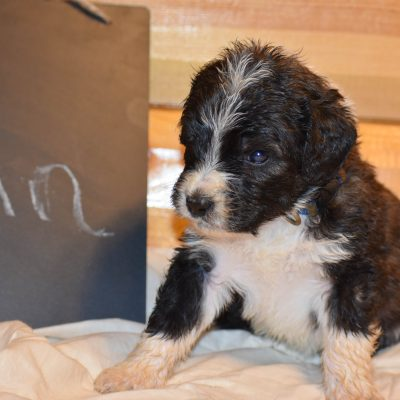 Aladin - a sweet male Bernedoodle puppy from Illinois