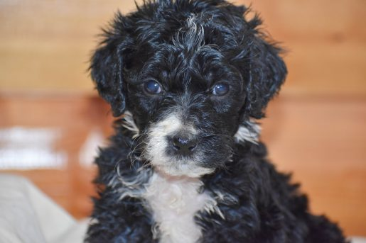 Elsa - a new female Bernedoodle puppy born in Illinois