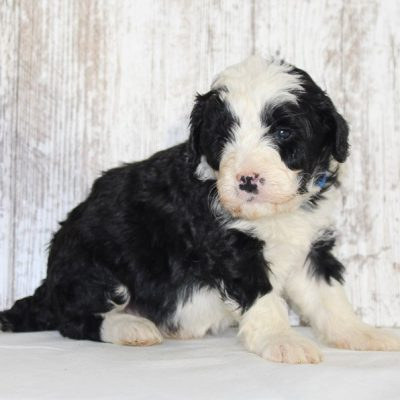 Joey - a male Mini Bernedoodle puppy for sale in New Haven, IN