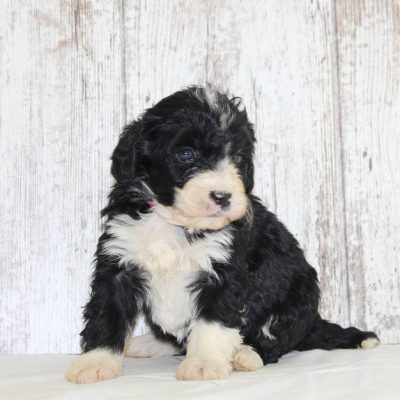 Shelby - a female mini Bernedoodle puppy for sale near Fort Wayne, Indiana