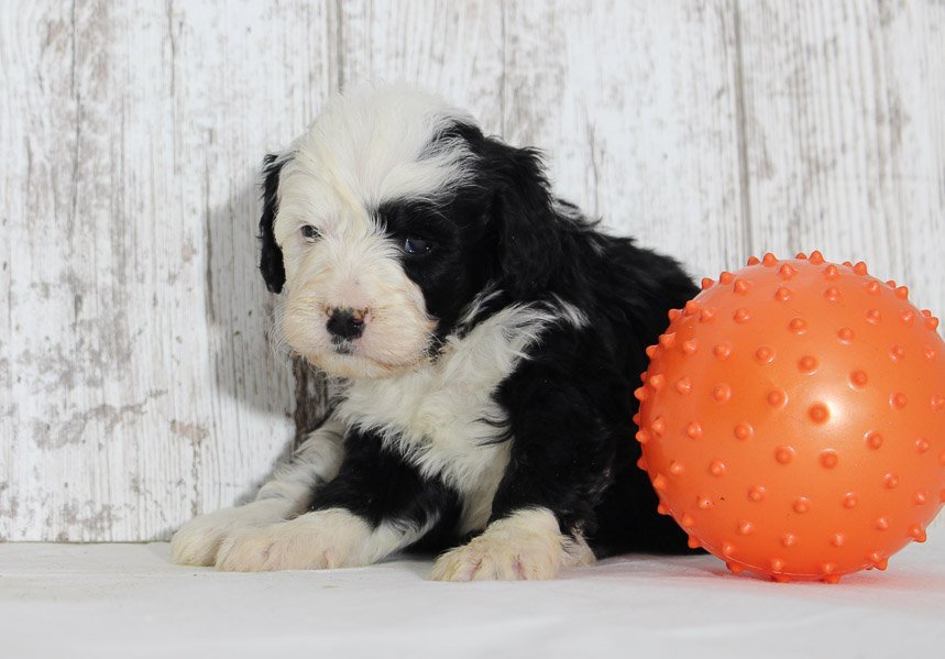 Lily - a female Mini Bernedoodle pupper for sale born in Indiana