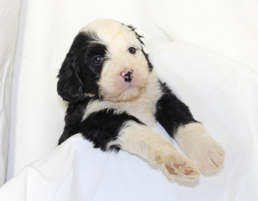 Gracie - a female Mini Bernedoodle puppy born near Fort Wayne, IN