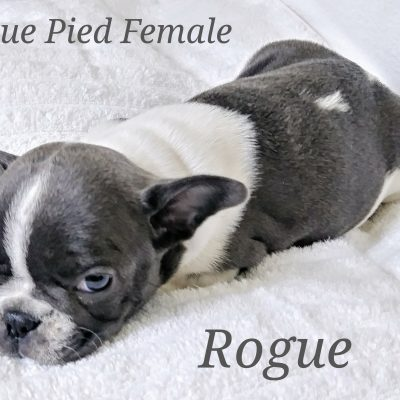 Rogue - a female AKC Piebald French Bulldog puppy born in Lone Tree, CO