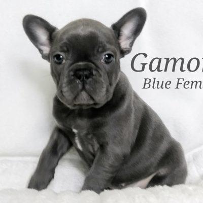 Gamora - a female French Bulldog AKC puppy born in Lone Tree, Colorado